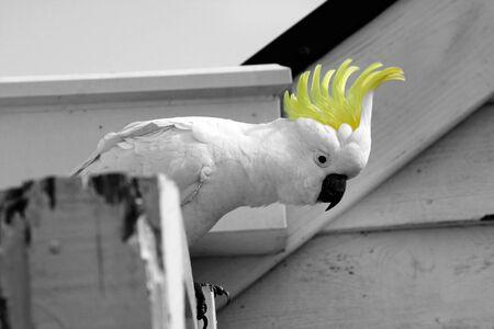yellow crested australian white cockatoo photo