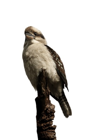 The Laughing Kookaburr on a tree Stock Photo - 7927210