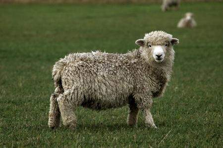 sheep grazing on green meadow photo