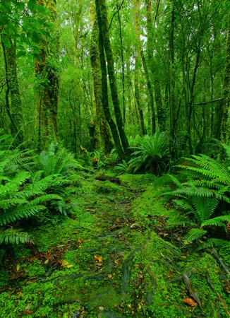 lush rainforest path