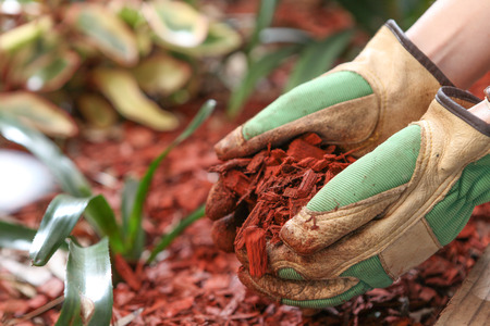 Mulching the garden with red cedar wood chip