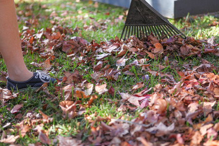 gold shovel: Raking up Autumn leaves off the grass lawn close up Stock Photo