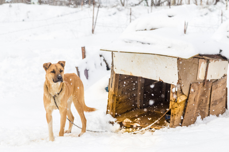 A brown dog with its doghouse on a snowy day in winter. Stock Photo