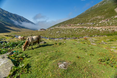 Brown cow on mountain pasture. Brown cow at a mountain pasture in summer. Cows on fresh green grass of a mountain village.