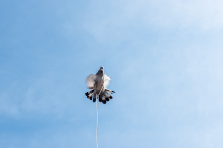 one single pigeon flying over blue clean background with its foot strapped with rope.concept of no freedom.  Reklamní fotografie