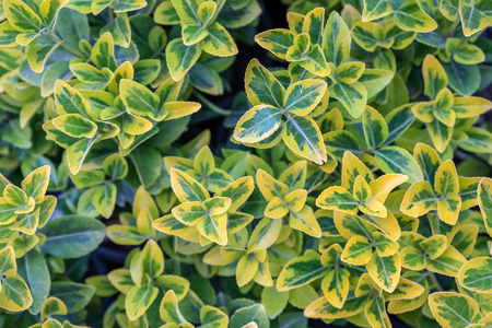 Top view of green and gold color Euonymus fortunei,yellow and green leaves of euonymus fortunei in plastic pots for sale 스톡 콘텐츠
