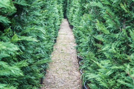many green hedge of thuja trees or green hedge of the tui trees