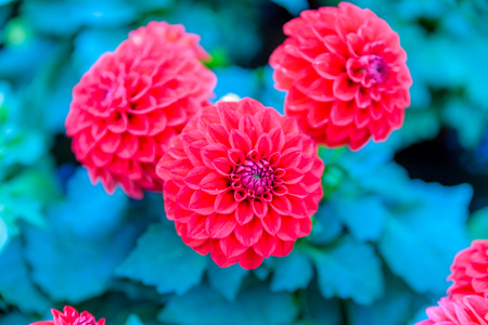 Top view of dahlia fresh flowers blooming in natural garden for sale in pots Stock Photo