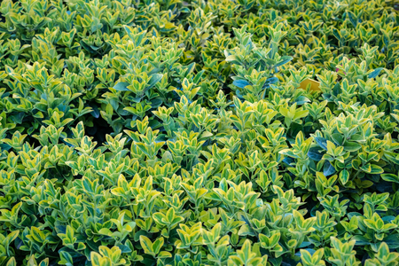Top view of green and gold color Euonymus fortunei,yellow and green leaves of euonymus fortunei in plastic pots for sale Stock fotó