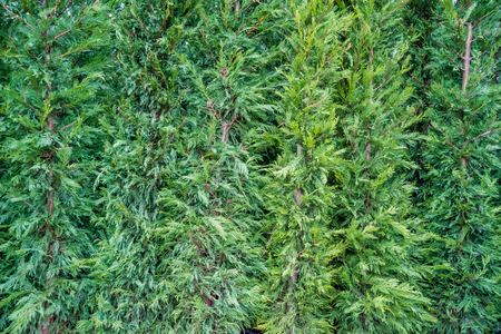 Thuja occidentalis background.Thuja occidentalis is an evergreen coniferous tree, in the cypress family Cupressaceae