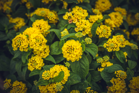 Top view of Yellow Lantana camara or in different names with big-sage (Malaysia), wild-sage, red-sage, white-sage , tickberry, verbena Banque d'images