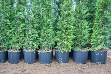 Many Green Hedge of Thuja Trees, or Green hedge of the Tui trees in plastic box for sale