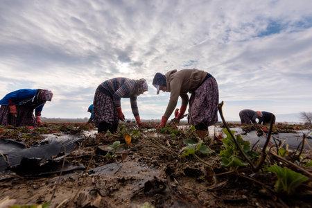 Turkish women Farmers working together in strawberry fields in Autumn.Aydin,Turkey.January 15,2017
