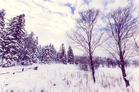 흐린 무딘 날에 소나무 숲과 겨울 풍경보기. 스톡 콘텐츠 - 101629058