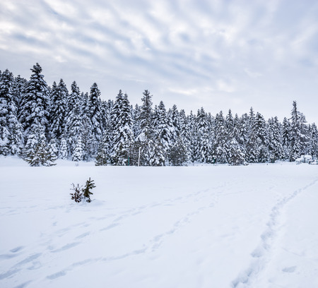 Winter landscape view with pine forest at a cloudy dull day.