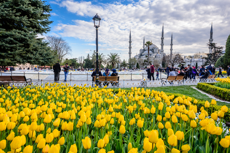 Traditional tulip Festival in Sultanahmet Square Park with view of Sultan Ahmet Mosque(Blue Mosque)on background and colorful tulips on foreground.ISTANBUL,TURKEY- APRIL 4,2017