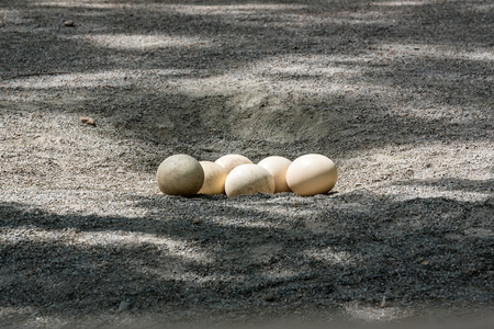 A group of ostrich eggs stand in nest on soil under shadow of tree.