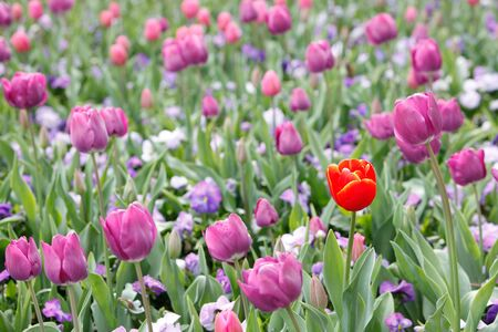 Red In Purple Tulips - Lone One Stock Photo - 15680866