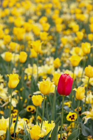 Red In Yellow Tulips - Odd One Out Stock Photo - 15680731