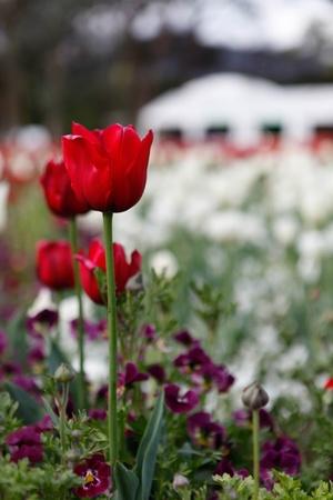Red Beautiful Tulip Floriade Stock Photo