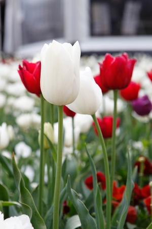 White And Red Tulips Floriade Stock Photo - 15680865