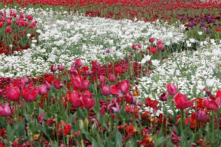 White Circular In Red Tulips - Ying Yang Stock Photo - 15680861