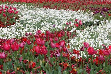 White Circular In Red Tulips - Ying Yang