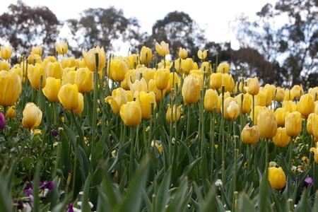 Yellow Tulips Flower Bed Stock Photo - 15680864