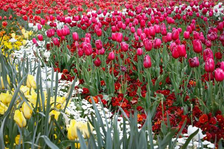 Beautiful Colorful Tulips In The Garden