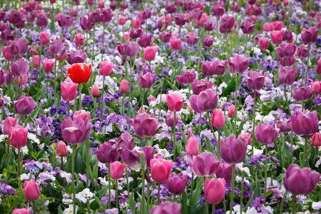 One Red In Purple Tulips Foriade Stock Photo - 15680858