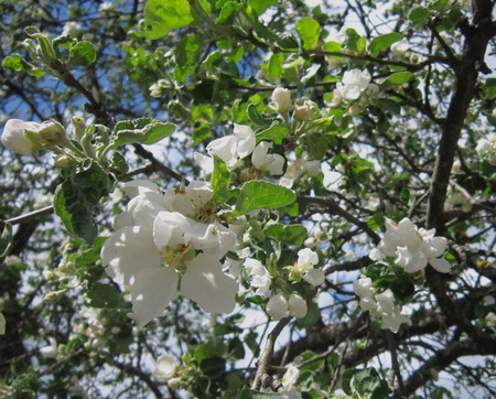 The branch of a flowering Apple tree photo