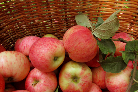 Ripe juicy apples in a wicker basket. The background is a rich harvest photo