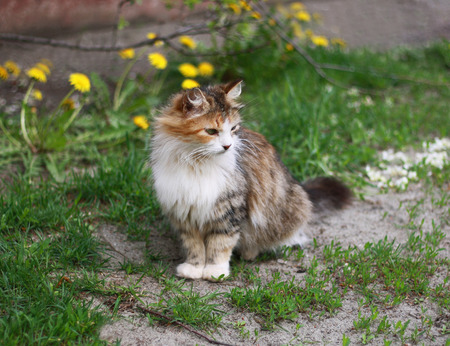 well maintained: Beautiful fluffy tricolor cat among the dandelions and grass