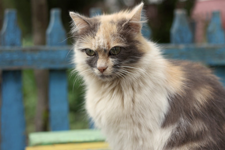 well maintained: Muzzle large fluffy tricolor cat
