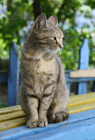 well maintained: Gray tabby cat sitting on a bench with peeling paint