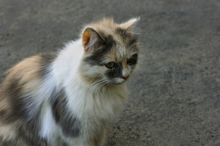 well maintained: Young fluffy kitten sitting on the pavement and looking forward