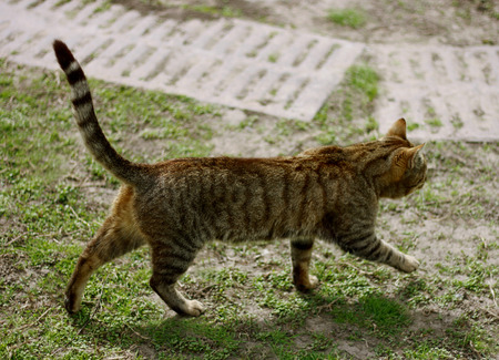 gait: Smooth-haired tabby cat is on track