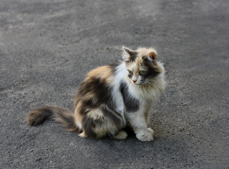 well maintained: Young fluffy tricolor cat sitting on the grey asphalt