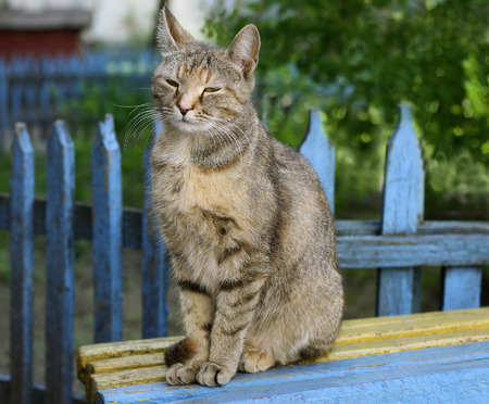 gray tabby: Gray tabby cat sitting on a bench with peeling paint