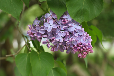 inflorescence: Branch of blooming lilacs. Inflorescence of small lilac flowers .