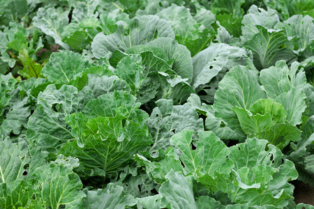 thickets: The cabbage bed. Thickets which grew large Kachanov green cabbage.