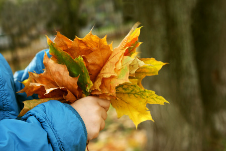 forest park: The image of hands of a child in a blue jacket, holding bouquets of maple leaves. Blurred, fuzzy, abstraktnaya background.