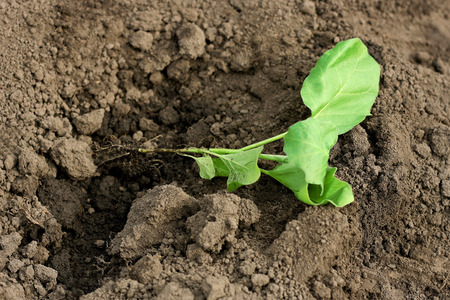 Transplanting in the open ground. a small green sprout cabbage lies near prepared for planting hole.
