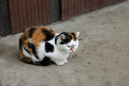 tri  color: Multi-colored adult cat lies on gray asphalt.
