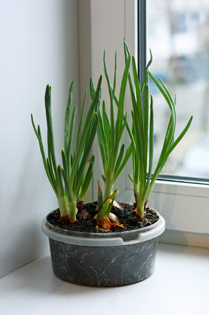 home grown: Green onions grown on the windowsill at home. Bulbs planted in soil in plastic containers. Stock Photo