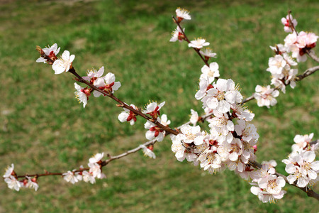 early blossoms: Branches of cherry blossoms in early spring. On the branches blossom first early pale white flowers. Around the early green grass.