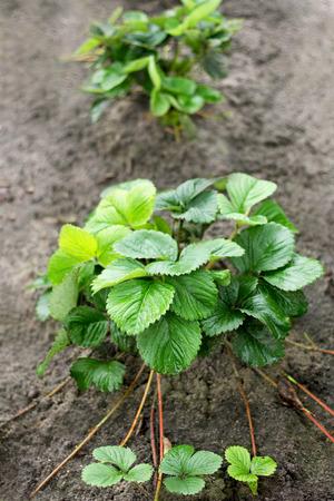 raíz de planta: Bush es una fresa joven con bigote cubierto está creciendo en el jardín.