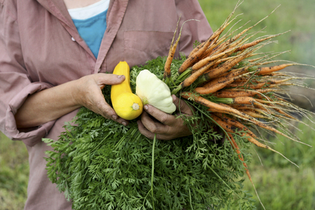 The woman holds in her hands the harvest of vegetables: carrots, zucchini and squash. The woman is dressed in dirty clothes, she is dirty from working in the garden hands.