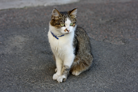 cute kittens: An adult cat with a colored coat sitting on a grey asphalt road. On the neck of the animal wearing a collar for cats.