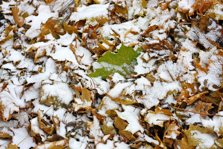 collected: The first snow in a big pile of collected fallen autumn leaves. Autumn landscape. Stock Photo